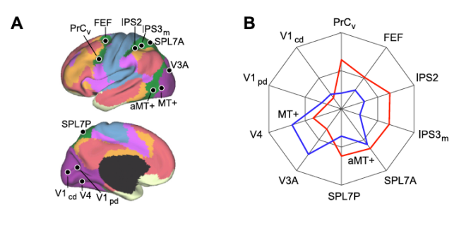 Figure 25.A: 4 visual, 4 parietal, and 2 frontal seed regions were used to quantify the functional coupling of aMT+ and MT+ to distributed cortical regions. B. polar plots of MT+ (blue) and aMT+ (red) connectivity with the visual, parietal, and frontal seed regions were computed using the replication data set. (from Yeo et al., 2011).