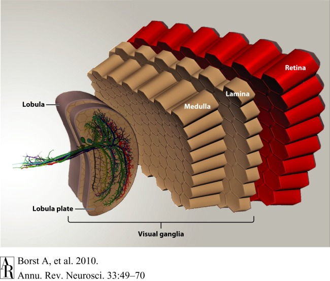 Figure 3.  Schematic of the fly optic lobe. In the lobula plate, the group of vertical system (VS) cells is shown as three-dimensional reconstructions from 2-photon image stacks of single dye-filled cells (from Cuntz et al. 2007).