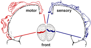 The face and lips lie adjacent to the hand in the brain's sensory and motor cortices. When the hand is lost, these neighboring regions can invade the former hand area.