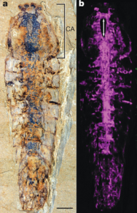The fossil and reconstructed nervous system of Alalcomenaeus (1)