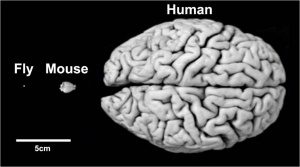 brain_compare