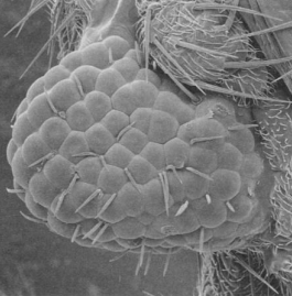 A fly's eye grown on the leg driven by a mouse gene (5).