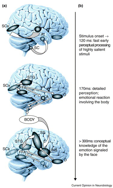 A decade-old model of emotional facial expression processing as a function of time [7]. A, amygdala; FFA, fusiform face area; INS, insula; O, orbitofrontal cortex; SC, superior colliculus; SCx, striate cortex; SS, somatosensory cortex; STG, superior temporal gyrus; T, thalamus. Note that the same brain structures participate in different components of processing at different points in time. (d)