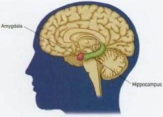 amygdala hippocampus