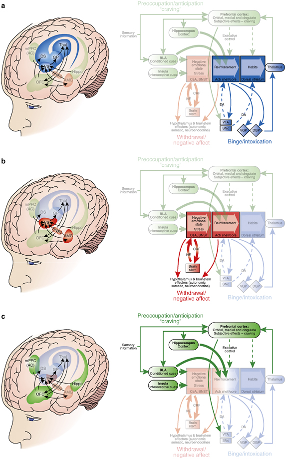 Brain circuits involved in each phase of drug addiction (1).