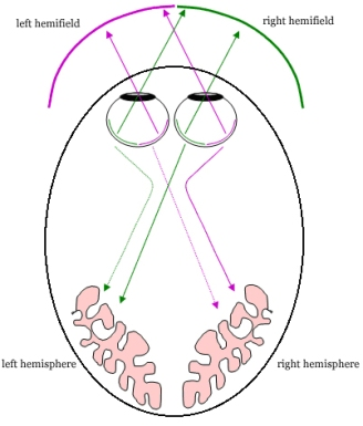 A vastly oversimplified cartoon of your visual system, illustrating the how the right side of your eye receives light from your left - http://opl.apa.org/Images/wordrecognitionfig2.jpg