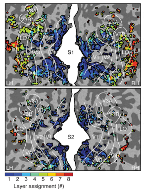 Images of the visual areas of two brains (top and bottom; left hemisphere to the left and right hemisphere to the right). Brains are flattened to remove wrinkles (light and dark grey) so that it's easier to see. Cooler colors represent earlier layers of the neural network; warmer later. Note that cooler colors are in earlier visual areas (V1, V2), and warmer in later layers (V4, LOC), showing a correspondence between model and brain.
