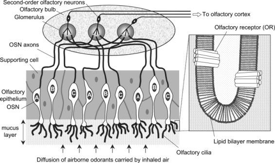 figure-2-organization-of-the-mammalian-olfactory-system-volatile-molecules-reach-the