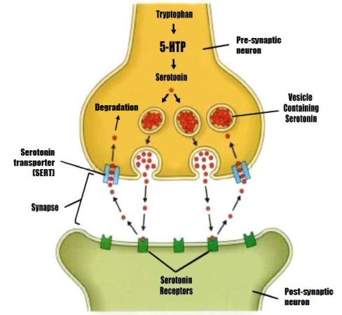 serotonin diagram