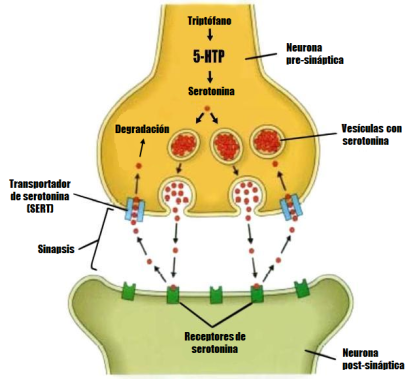 serotonin espanol