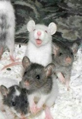 happyrodents