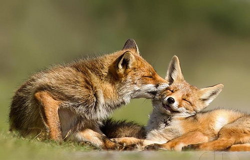 foxesinlove