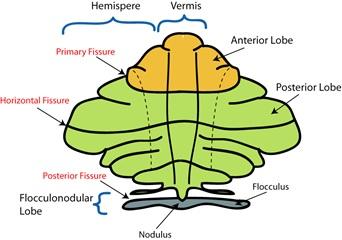 Cerebellum2