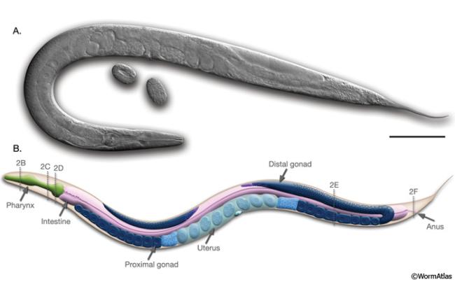 C.elegans1