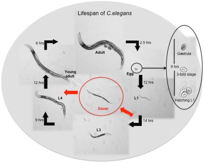 Worm-Lifespan