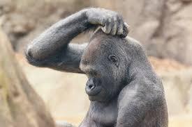 gorila scratching