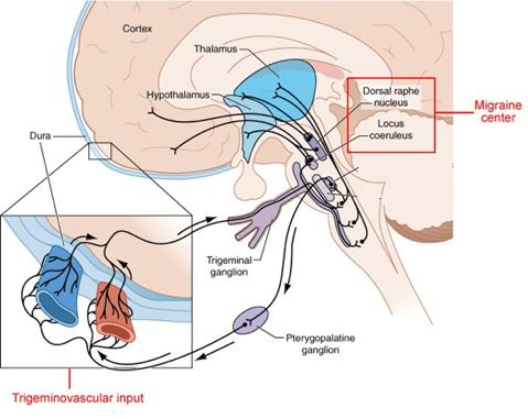 trigeminovascular