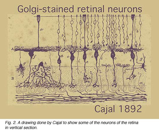 cajal_retina