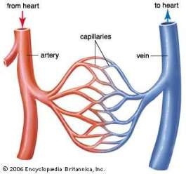 arteries capillaries