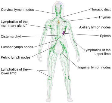 lymph vessels