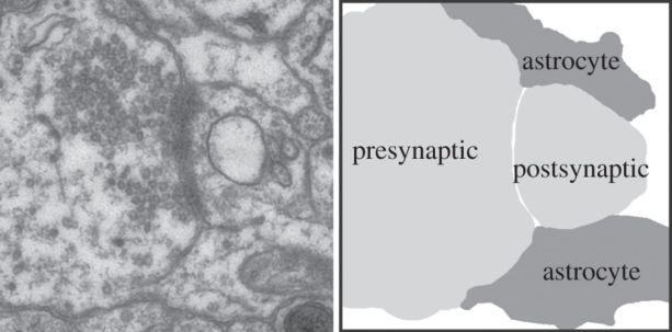 EM synapse
