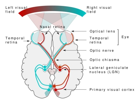 Visual Pathway Image