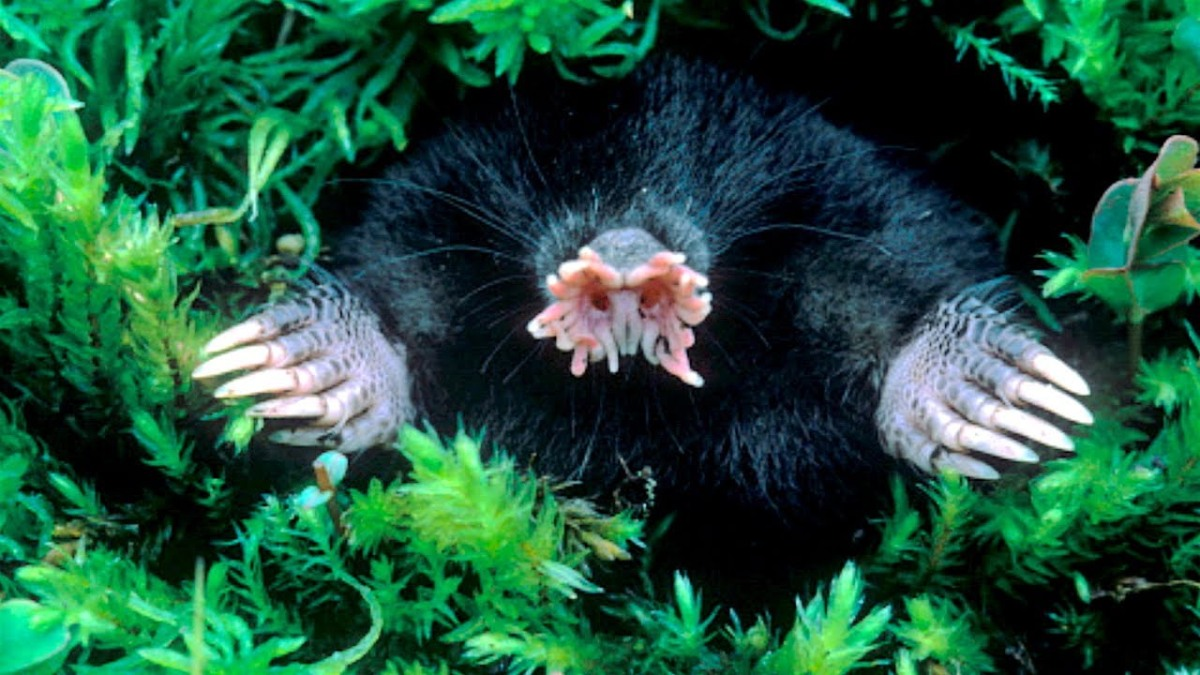 Stars for Eyes – The Neurological Wonder of the Star-Nosed Mole | NeuWrite San Diego