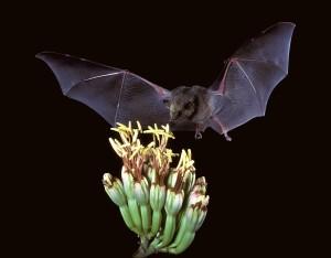 Choeronycteris_mexicana,_Mexican_long-tongued_bat_(7371567444)