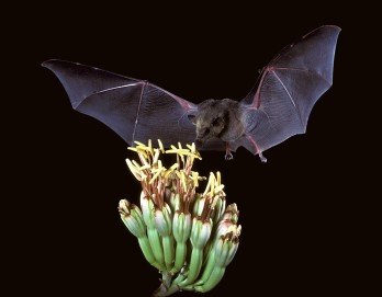 Choeronycteris_mexicana,_Mexican_long-tongued_bat_(7371567444)