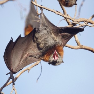 Fruit_Bat_(flying_fox)_(36717999785)